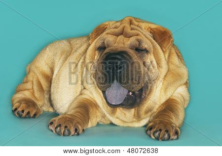 Sharpei sitting with tongue out against turquoise background