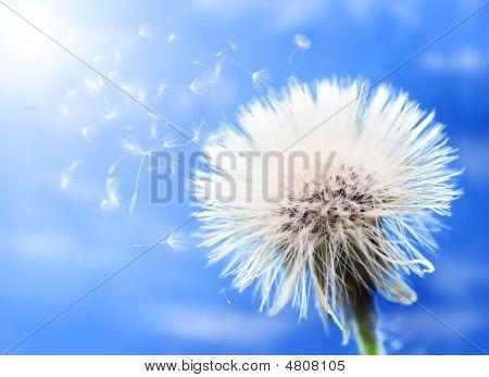 Dandelion Portrait