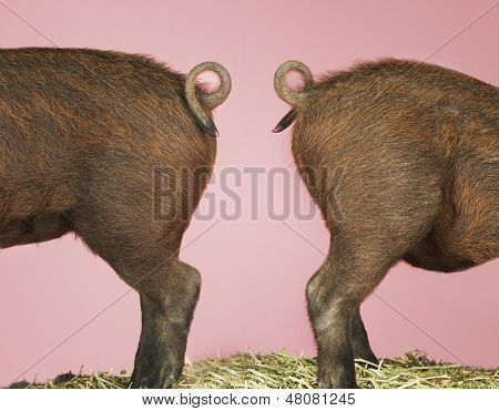 Side view of rear end of two pigs against pink background