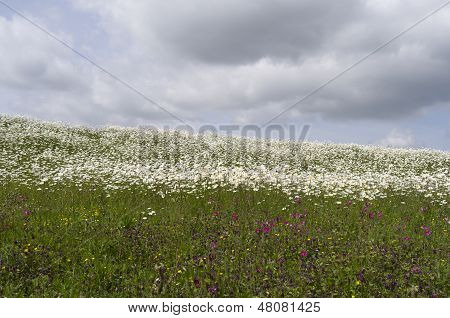 Dike With Daisies And Cuckoo Flowers In Bloom.
