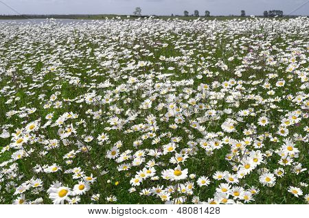 Dike With Daisies In Bloom.
