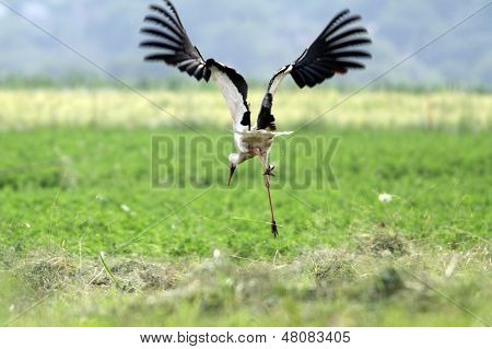 Funny Stork In Flight