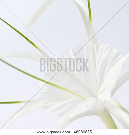 Spider lily bloom close up
