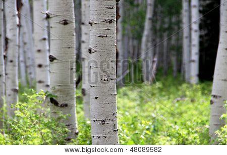 Apsen Trees...