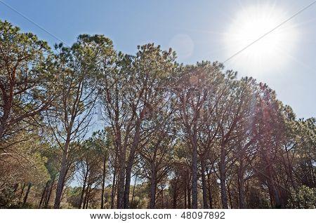 Pinewood And Sun