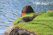image of goanna  - The varan on the grass at the water - JPG