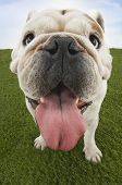 Extreme closeup of a British bulldog with tongue out standing on grass against sky