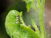 picture of hornworms  - Macro close up of tomato hornworm caterpillar with multiple eye spots destroying a tomatoes plant in garden - JPG