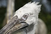 Close Up Of A Pelican In A Zoo