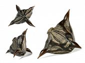 stock photo of horny  - Water caltrop Trapa natans horny seed - JPG
