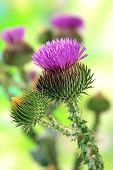 foto of scottish thistle  - Thistle flowers on nature background - JPG