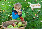 foto of crips  - Adorable little boy eating apple in autumn garden - JPG