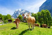 foto of calf cow  - Herd of cows on green pasture on summer day with snow mountains on background - JPG