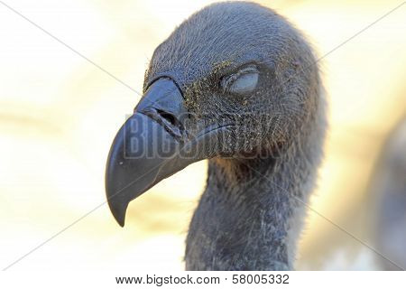 Portrait Of Cape Griffon Vulture