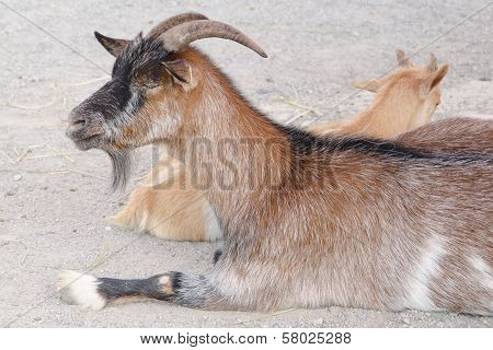 Brown Goat In A Farm
