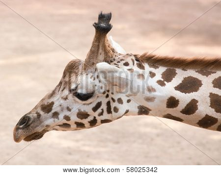 Portrait Of A Giraffe (giraffa Camelopardalis)