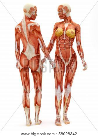 Female musculoskeletal system front and back