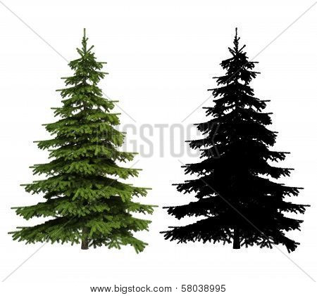 Ultra detailed Picea spruce tree
