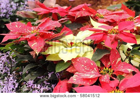 Group Of Christmas Red And Yellow Poinsettia