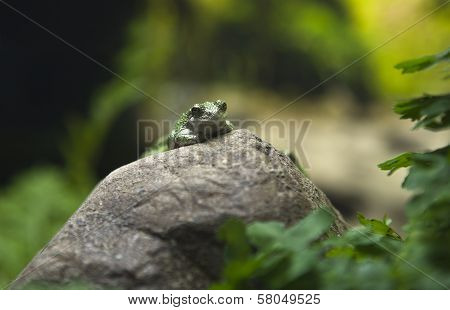 Green Toad On Rock