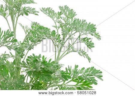 Artemisia Absinthium (absinthium, Absinthe Wormwood, Wormwood, Silver Mound, Common Wormwood, Green