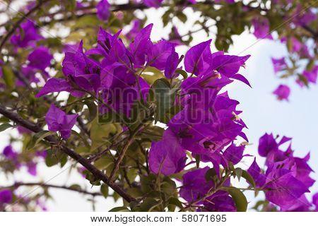 Purple Bougainvillea Flower