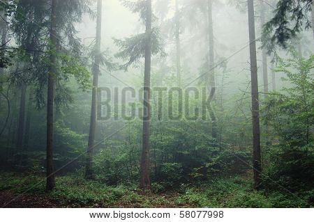 Pine trees in a forest with fog