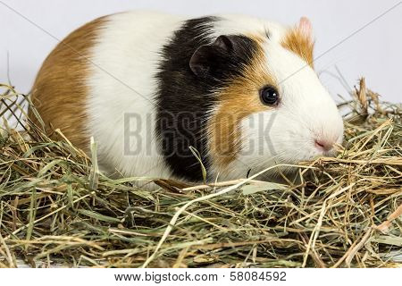 Three Color Guinea Pig On Hay.