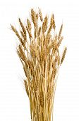 foto of fall-wheat  - Ears of wheat isolated on white background - JPG