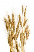 image of fall-wheat  - Ears of wheat isolated on white background - JPG