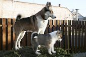 image of laika  - A bitch of West Siberian Laika and her puppy - JPG