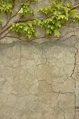 stock photo of creeper  - old Italian cracked wall with green plant creeper