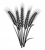 image of ears  - vector black and white bunch of wheat ears with whole grain and leaves - JPG