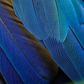 stock photo of fowl  - Blue and Gold Macaw feathers - JPG