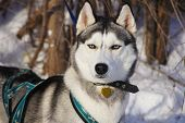 image of husky sled dog breeds  - Siberian Husky sled dog breed in harness
