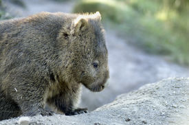 stock photo of wombat  - The Common wombat is also called the Coarse haired wombat the Naked nosed wombat the Forest wombat the Island wombat and the Tasmanian wombat - JPG