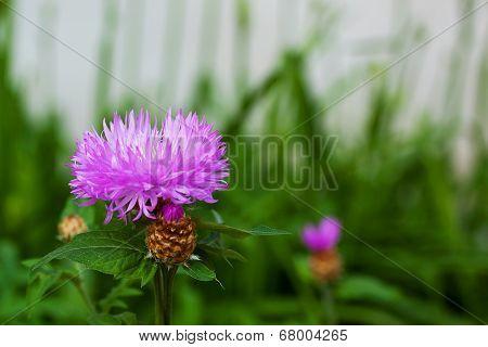 Purple Cornflower