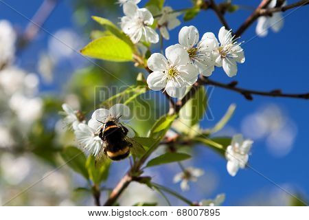 Bumblebee On The Blossom