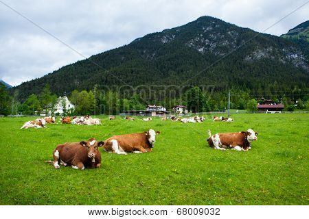 cows laying down on the meadow