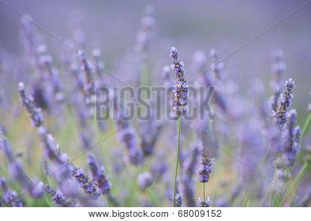 Lavender Flower In A Field