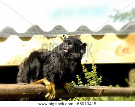 Golden-handed Tamarin monkey