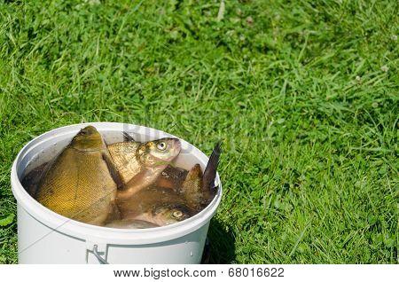Big Fishing Catch In Bucket Water On Meadow