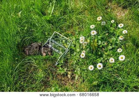 Dead Mole In The Grip Traps In The Meadow