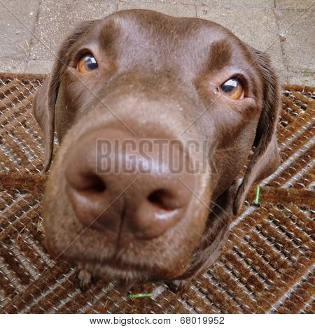 labrador retriever dog chocolate