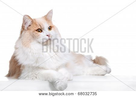 Ginger Cat isolated over white background.
