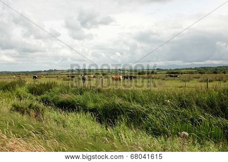Marshland Cattle.