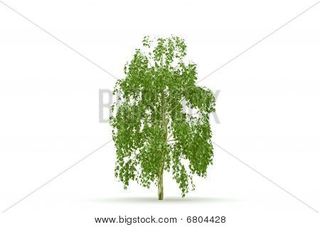 Birch  tree isolated