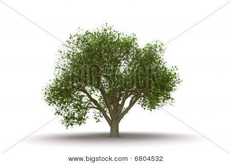 Elm tree isolated