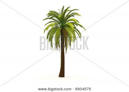 Phoenix date-palm