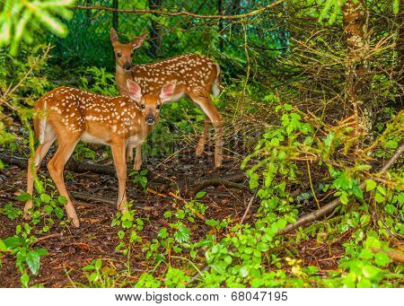 Whitetail Deer Fawn